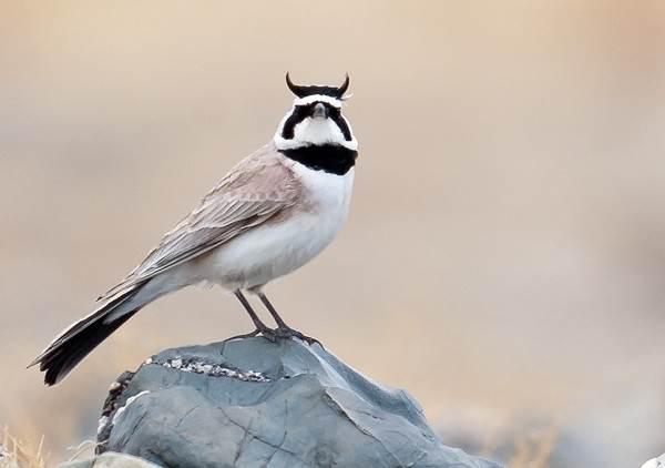 Жаворонок-птица-Описание-особенности-образ-жизни-и-среда-обитания-жаворонка-9