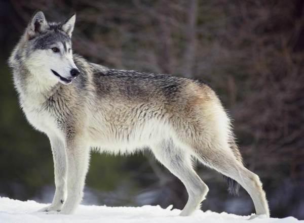 Животные-Сибири-Описание-виды-названия-и-особенности-животных-Сибири-10