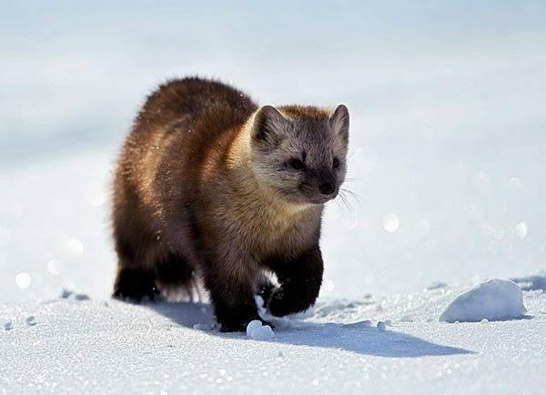 Животные-Сибири-Описание-виды-названия-и-особенности-животных-Сибири-13