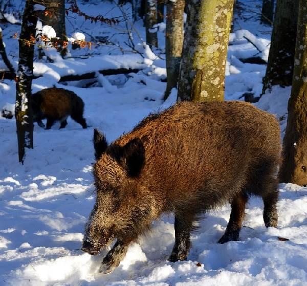 Животные-Сибири-Описание-виды-названия-и-особенности-животных-Сибири-15