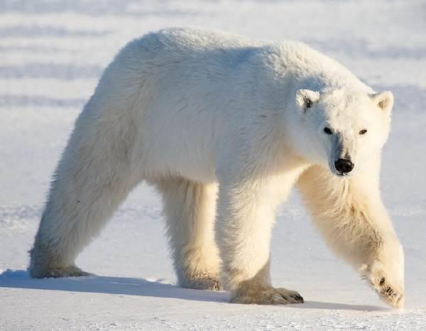 Животные-Сибири-Описание-виды-названия-и-особенности-животных-Сибири-17