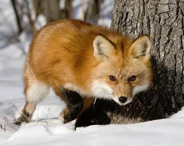 Животные-Сибири-Описание-виды-названия-и-особенности-животных-Сибири-19