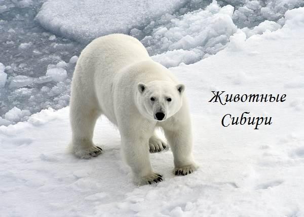 Животные-Сибири-Описание-виды-названия-и-особенности-животных-Сибири-21