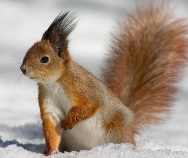 Животные-Сибири-Описание-виды-названия-и-особенности-животных-Сибири-7