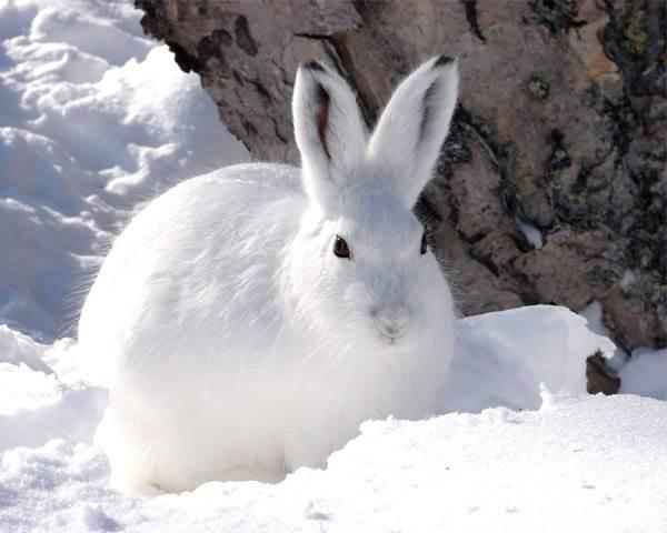 Животные-Сибири-Описание-виды-названия-и-особенности-животных-Сибири-8
