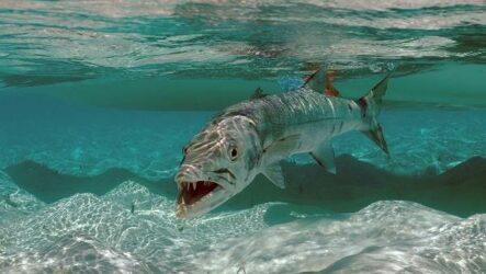 Барракуда рыба. Описание, особенности, виды, образ жизни и среда обитания барракуды