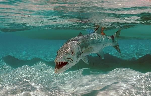 Барракуда-рыба-Описание-особенности-виды-образ-жизни-и-среда-обитания-барракуды-1