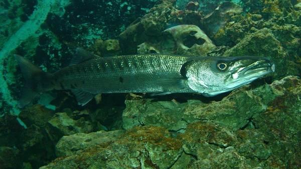 Барракуда-рыба-Описание-особенности-виды-образ-жизни-и-среда-обитания-барракуды-13