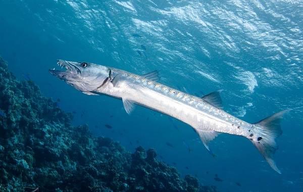 Барракуда-рыба-Описание-особенности-виды-образ-жизни-и-среда-обитания-барракуды-2