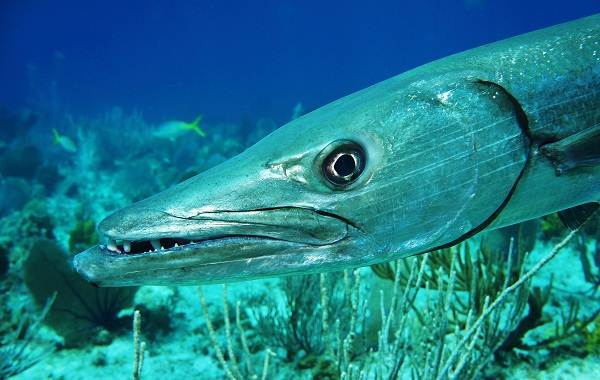 Барракуда-рыба-Описание-особенности-виды-образ-жизни-и-среда-обитания-барракуды-4