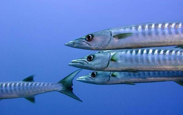 Барракуда-рыба-Описание-особенности-виды-образ-жизни-и-среда-обитания-барракуды-6