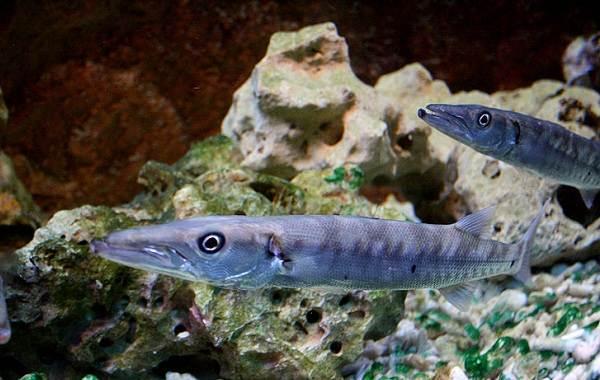 Барракуда-рыба-Описание-особенности-виды-образ-жизни-и-среда-обитания-барракуды-7