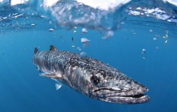 Барракуда-рыба-Описание-особенности-виды-образ-жизни-и-среда-обитания-барракуды-9