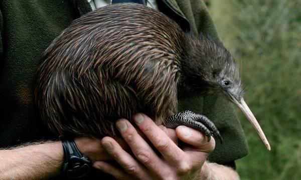 Киви-птица-Описание-особенности-виды-образ-жизни-и-среда-обитания-птицы-киви-10
