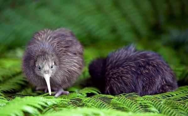 Киви-птица-Описание-особенности-виды-образ-жизни-и-среда-обитания-птицы-киви-11