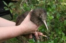 Киви птица. Описание, особенности, виды, образ жизни и среда обитания птицы киви