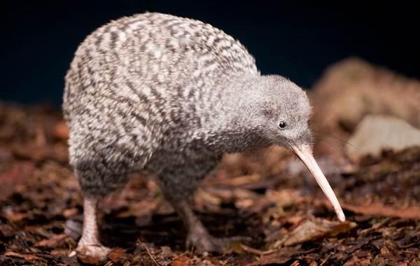 Киви-птица-Описание-особенности-виды-образ-жизни-и-среда-обитания-птицы-киви-7