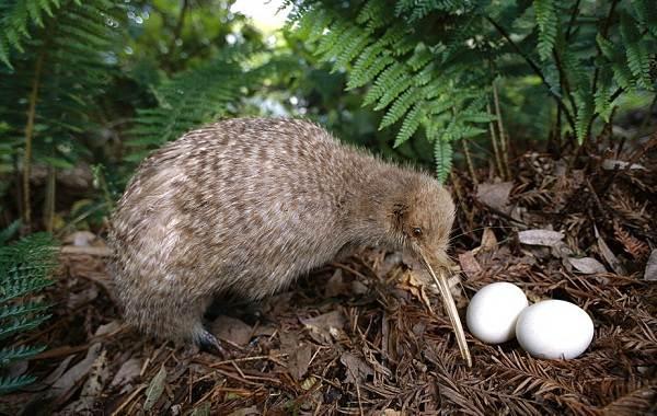 Киви-птица-Описание-особенности-виды-образ-жизни-и-среда-обитания-птицы-киви-9