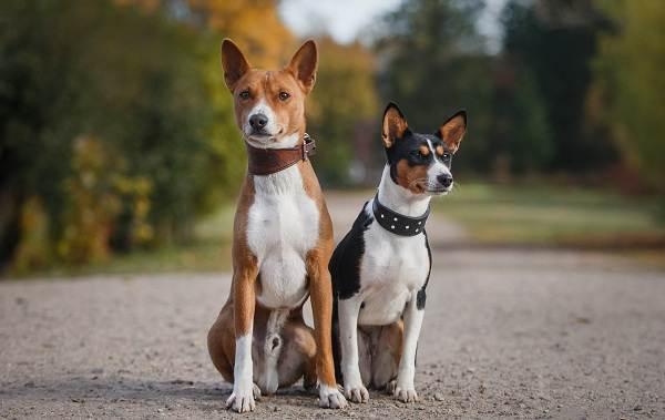 Басенджи-собака-Описание-особенности-виды-цена-и-характер-породы-басенджи-1