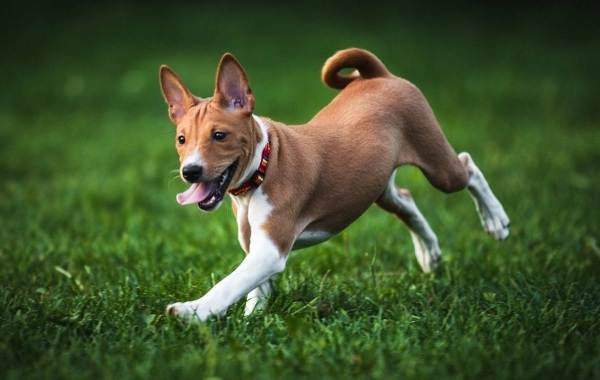 Басенджи-собака-Описание-особенности-виды-цена-и-характер-породы-басенджи-10