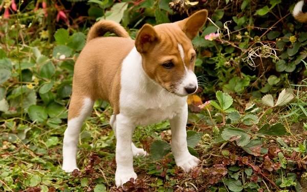 Басенджи-собака-Описание-особенности-виды-цена-и-характер-породы-басенджи-11