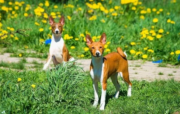 Басенджи-собака-Описание-особенности-виды-цена-и-характер-породы-басенджи-12