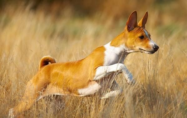 Басенджи-собака-Описание-особенности-виды-цена-и-характер-породы-басенджи-14