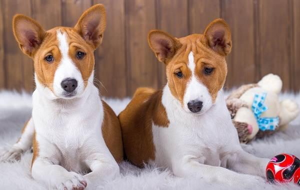 Басенджи-собака-Описание-особенности-виды-цена-и-характер-породы-басенджи-15
