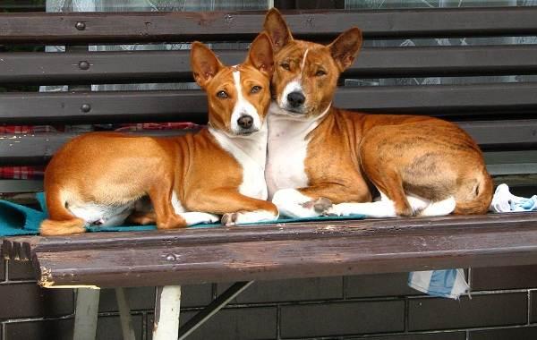 Басенджи-собака-Описание-особенности-виды-цена-и-характер-породы-басенджи-16