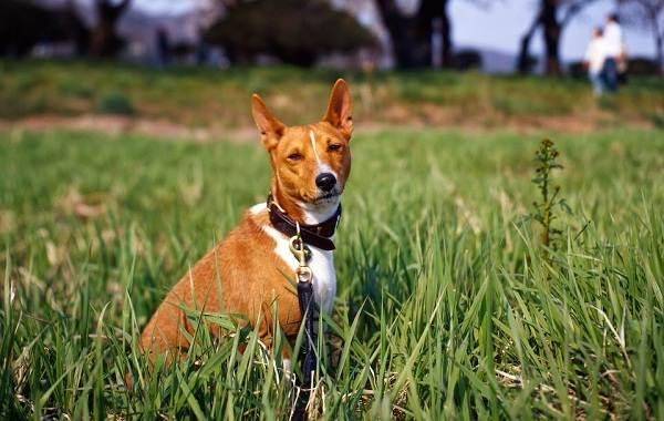 Басенджи-собака-Описание-особенности-виды-цена-и-характер-породы-басенджи-17