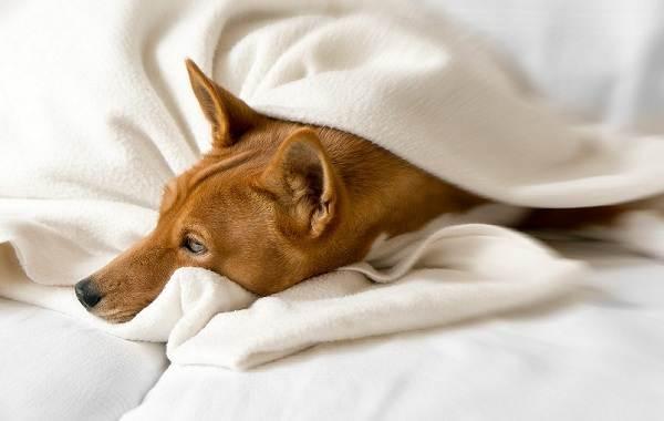 Басенджи-собака-Описание-особенности-виды-цена-и-характер-породы-басенджи-19