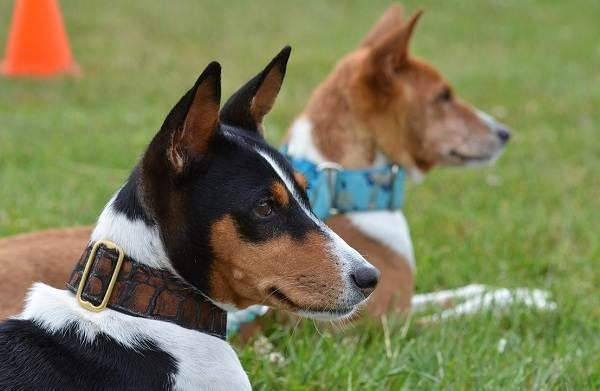 Басенджи-собака-Описание-особенности-виды-цена-и-характер-породы-басенджи-2