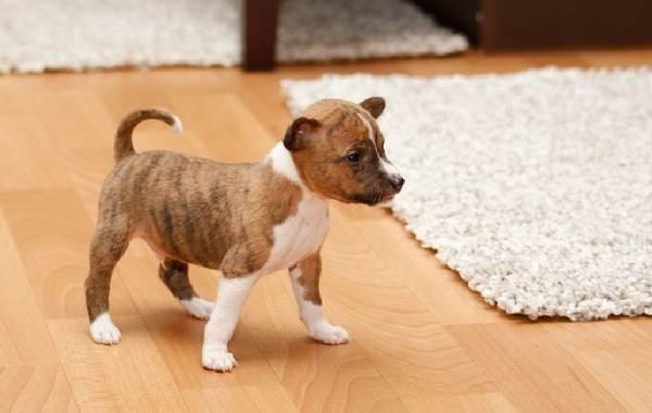 Басенджи-собака-Описание-особенности-виды-цена-и-характер-породы-басенджи-20