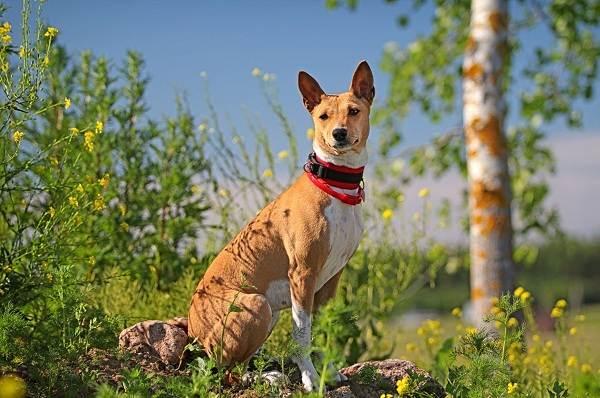 Басенджи-собака-Описание-особенности-виды-цена-и-характер-породы-басенджи-21