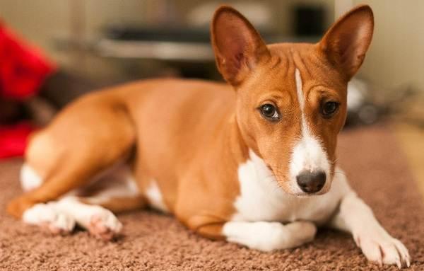 Басенджи-собака-Описание-особенности-виды-цена-и-характер-породы-басенджи-3