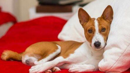 Басенджи собака. Описание, особенности, виды, цена и характер породы басенджи