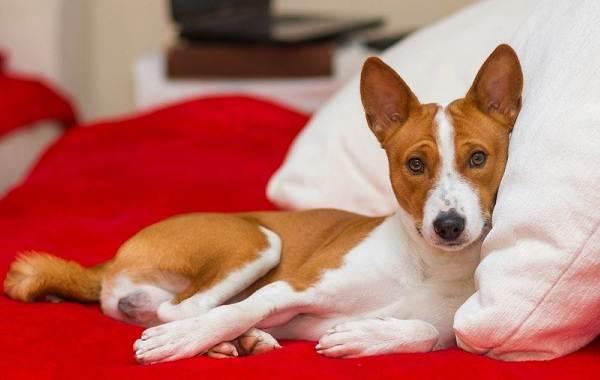 Басенджи-собака-Описание-особенности-виды-цена-и-характер-породы-басенджи-4