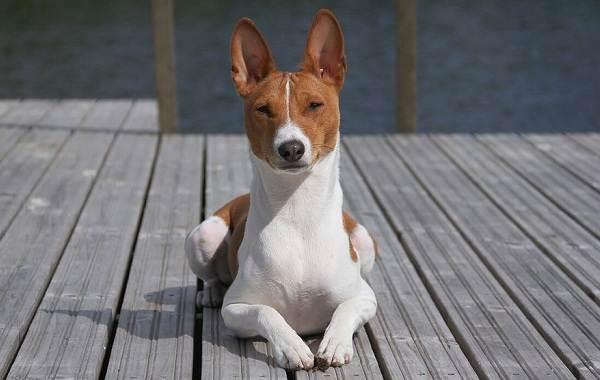 Басенджи-собака-Описание-особенности-виды-цена-и-характер-породы-басенджи-5