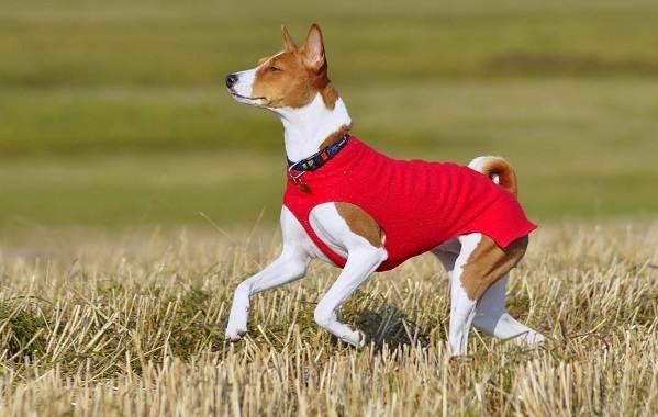 Басенджи-собака-Описание-особенности-виды-цена-и-характер-породы-басенджи-7