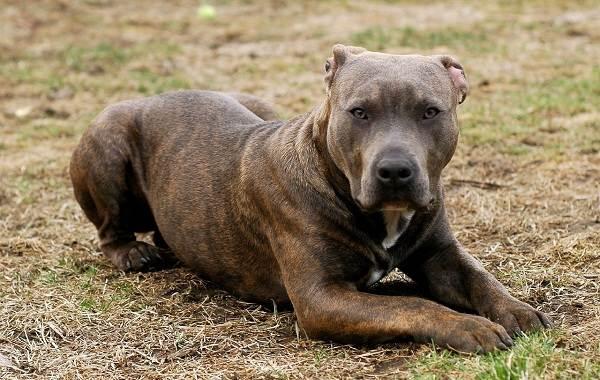 Бойцовские-породы-собак-Описания-названия-и-виды-бойцовских-собак-11