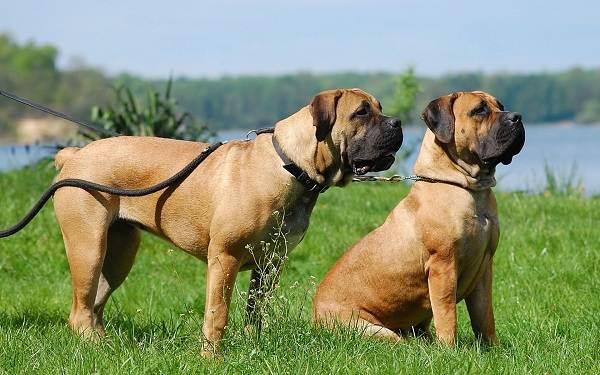 Бойцовские-породы-собак-Описания-названия-и-виды-бойцовских-собак-12