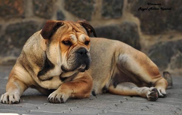Бойцовские-породы-собак-Описания-названия-и-виды-бойцовских-собак-13
