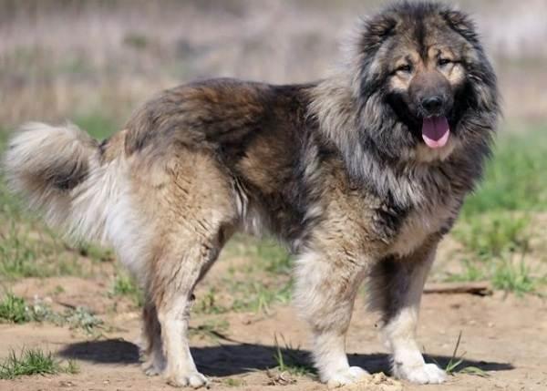 Бойцовские-породы-собак-Описания-названия-и-виды-бойцовских-собак-14