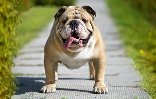 Бойцовские-породы-собак-Описания-названия-и-виды-бойцовских-собак-16