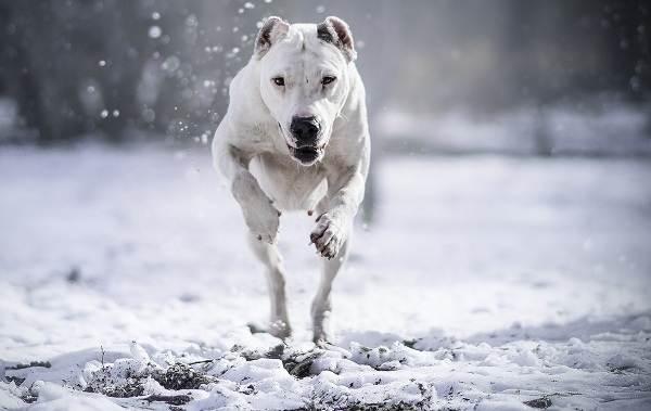 Бойцовские-породы-собак-Описания-названия-и-виды-бойцовских-собак-17