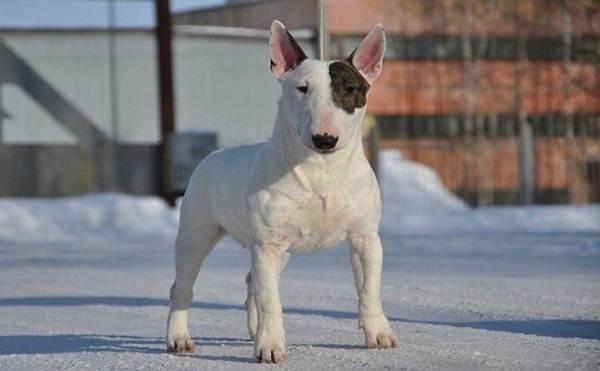 Бойцовские-породы-собак-Описания-названия-и-виды-бойцовских-собак-2