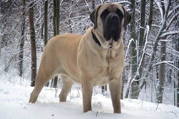 Бойцовские-породы-собак-Описания-названия-и-виды-бойцовских-собак-20