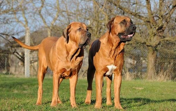 Бойцовские-породы-собак-Описания-названия-и-виды-бойцовских-собак-22