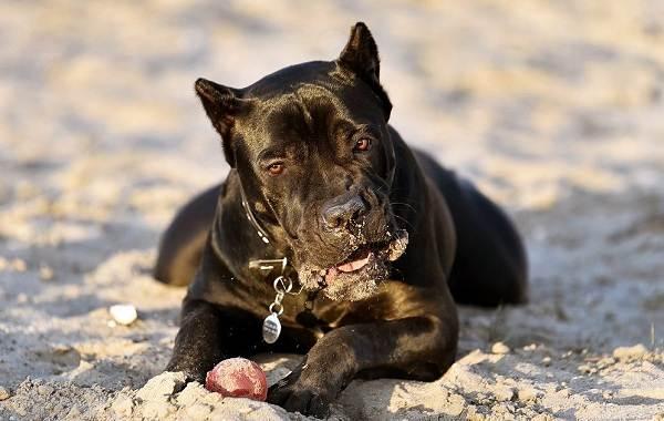 Бойцовские-породы-собак-Описания-названия-и-виды-бойцовских-собак-25