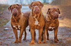Бойцовские породы собак. Описания, названия и виды бойцовских собак